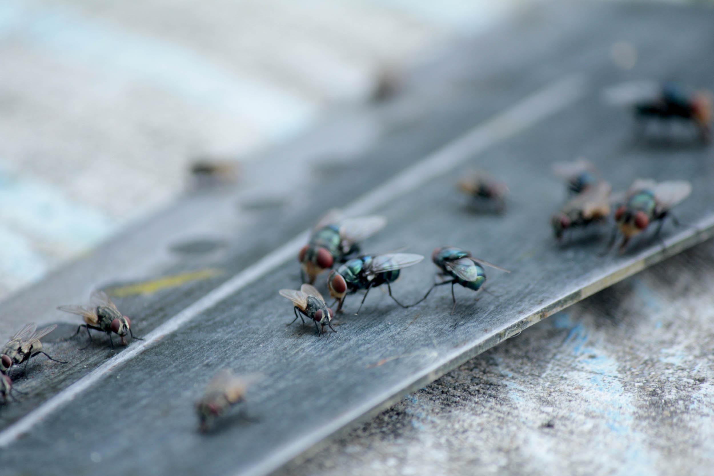 Experto explica a qué se debe la aparición repentina y masiva de moscas