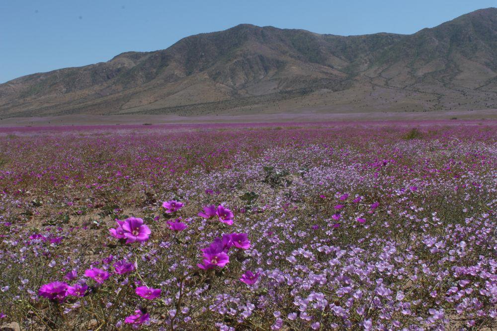 """Opinión: """"Desierto florido en Chile"""""""