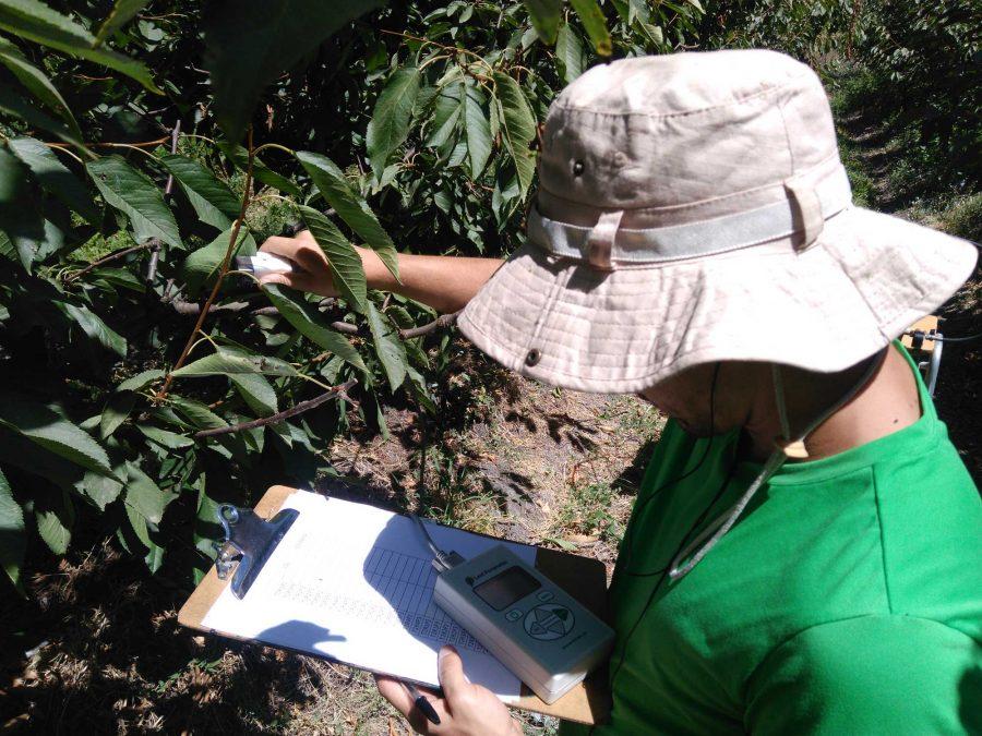 Investigación busca optimizar recurso de agua en plantaciones de cerezos